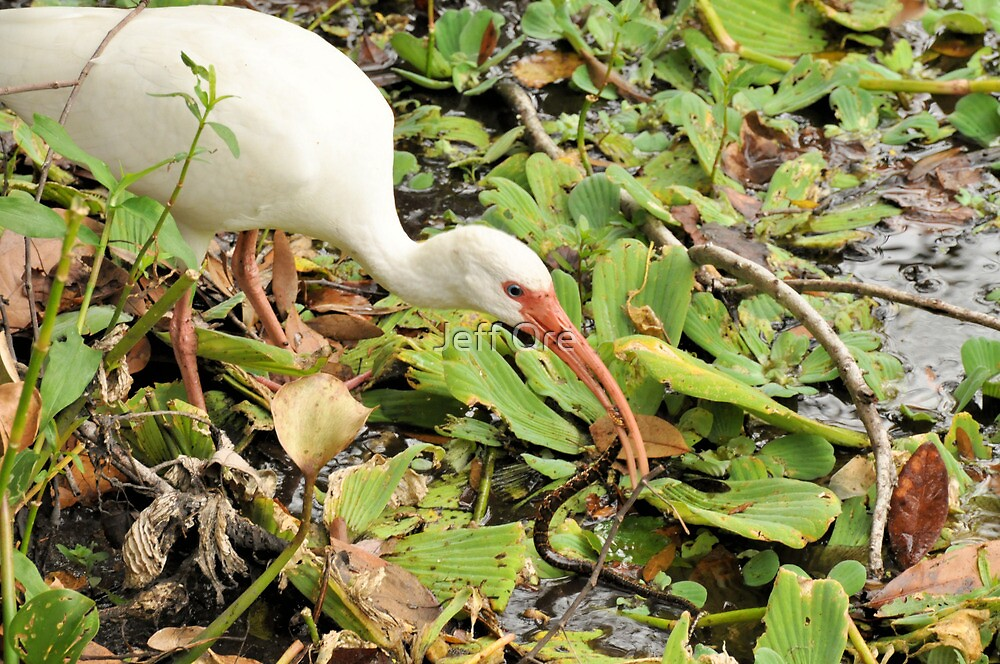 White Ibis with Banned Water Snake by Jeff Ore