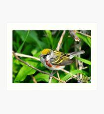 Chestnut-sided Warbler Art Print