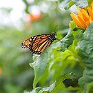Butterfly - Boothbay Maine by mattnnat
