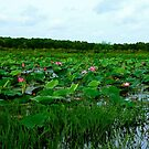 Lotus Flowers at Fogg Dam by Lynette Higgs