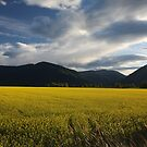 Creston Canola Field by Magnum1975