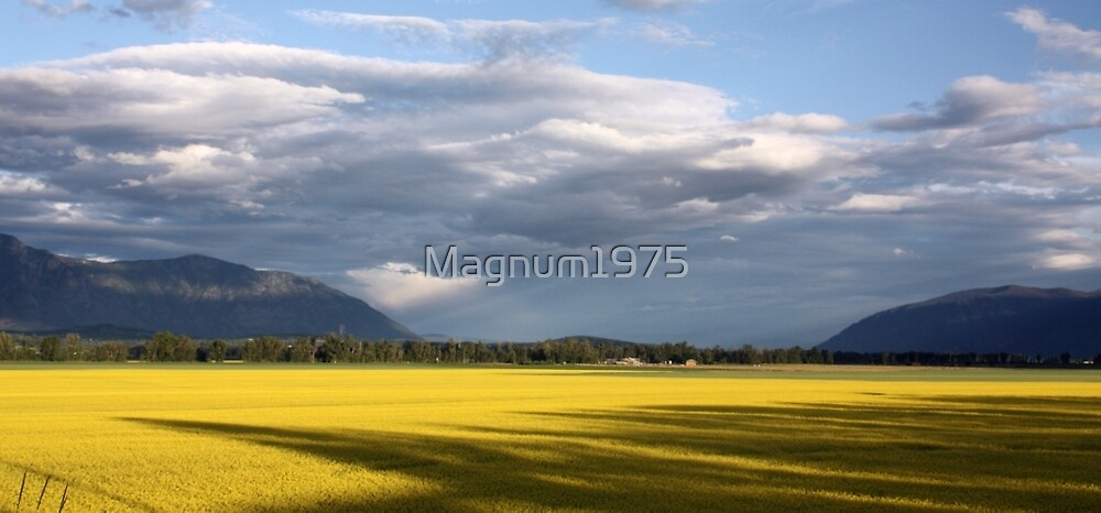 Canola Fields by Magnum1975