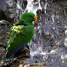 Eclectus Parrot  by Jack Miller