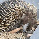 Urban Wildlife: Echidna by Aakheperure