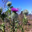 Thistle by BonnieH