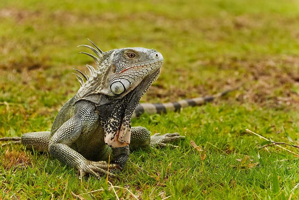 Caribbean Island Iguana by Steve Borichevsky
