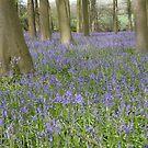 Bluebells, Micheldever Forest by Andrew Duke