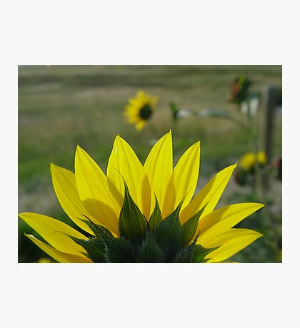 MONTANA SUNFLOWER ON THE HALFSHELL Photographic Print