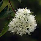 Gumnut flowers by Joy Rensch
