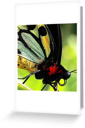 Cairns Birdwing Detail by Didi Bingham