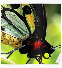 Cairns Birdwing Detail Poster