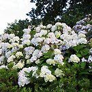 Hydrangeas Galore! von BlueMoonRose