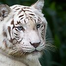 Rare White Tiger by Adam Martin