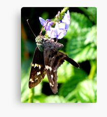 Longtailed Skipper Canvas Print