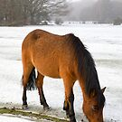 New Forest pony in snow by Andrew Duke