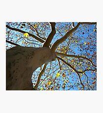 Sycamore Tree Photographic Print