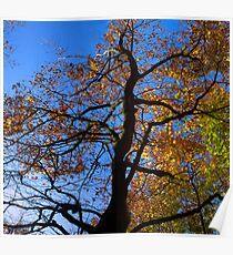 brilliant autumn beech Poster