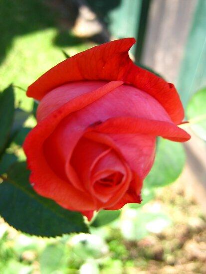 November Rose 3 by dge357