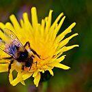 Bumblebee - 2 by Jessica Chirino Karran