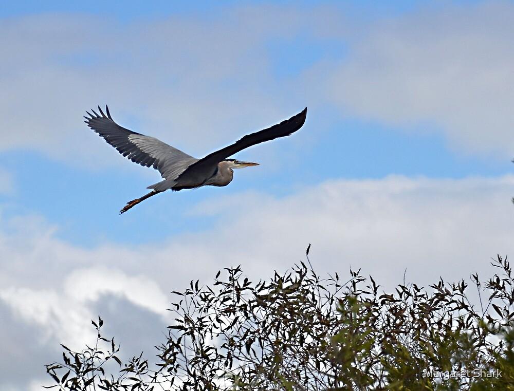 Great Blue Heron in Flight by Margaret  Shark