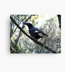 Currawong A1 - The Beak Canvas Print