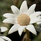 Flannel Flower, Botany Bay National Park by Erik Schlogl