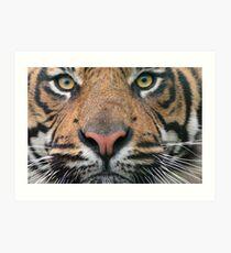 Tiger Tiger!! Art Print
