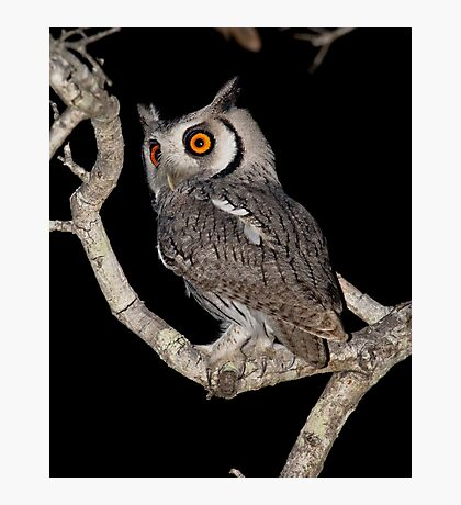 Southern White Faced Owl Photographic Print