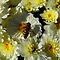 HOVER FLIES ON FLOWERS