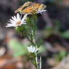 Little Orange Butterfly from Missouri by Paula Betz