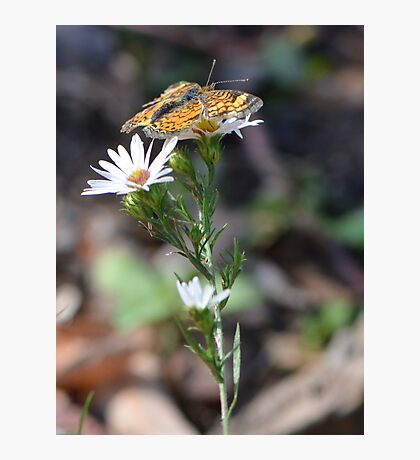 Little Orange Butterfly from Missouri Photographic Print