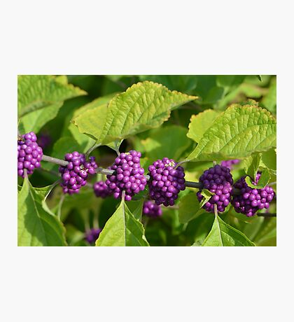 Beautyberries - A beautiful Rich Purple Berry Photographic Print