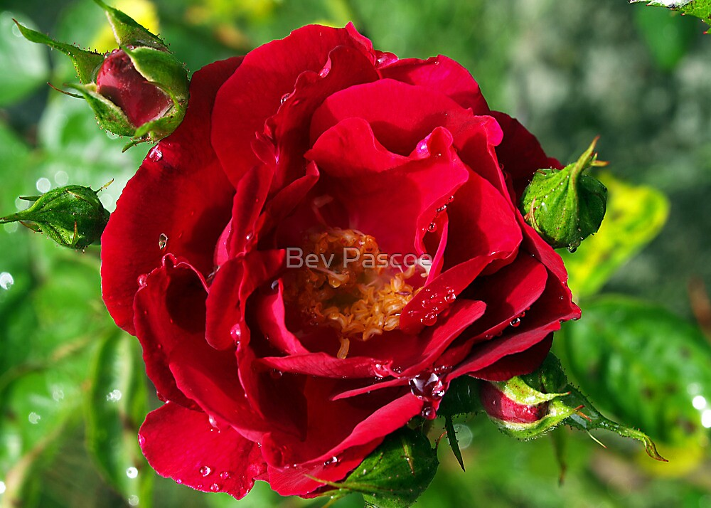 Red Rose with Buds by Bev Pascoe