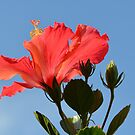 Coral Hibiscus Flower Reaching for the Sky by Paula Betz