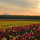 Tulips At Sunrise by Nick Boren