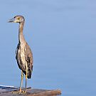 Juvenile Yellow Crowned Night Heron by Jeff Ore