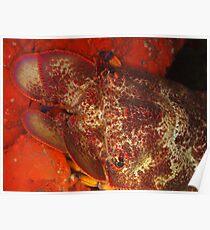 Pink Slipper Lobster,Bernier Island Poster