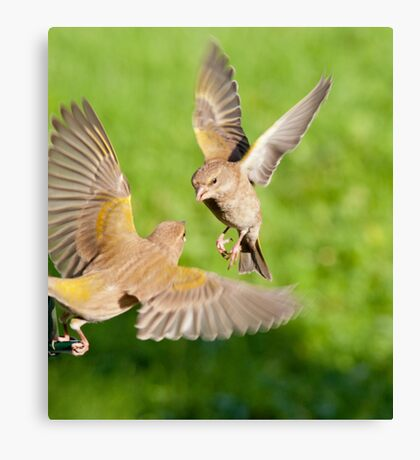 Greenfinches Canvas Print