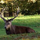 Young Buck - Bushy Park by Jonathan Doherty