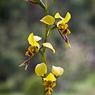 Australian wild orchid flower by TonySlattery