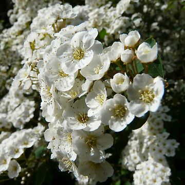 White Flowers by TheClarkes