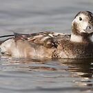 Female Long-tailed Duck by DigitallyStill