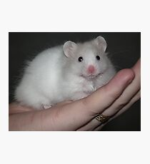 Close up of a white syrian hamster Photographic Print