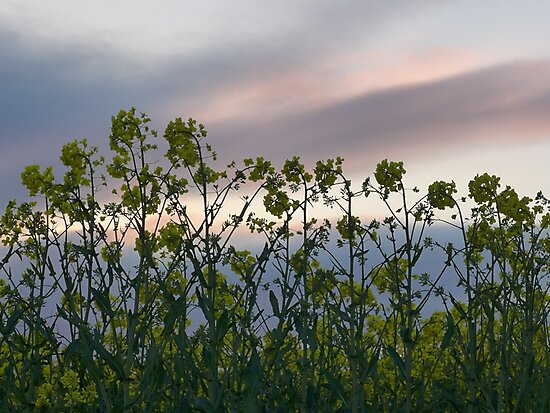 Rapeseed flowers against the evening sky by Anna Myerscough