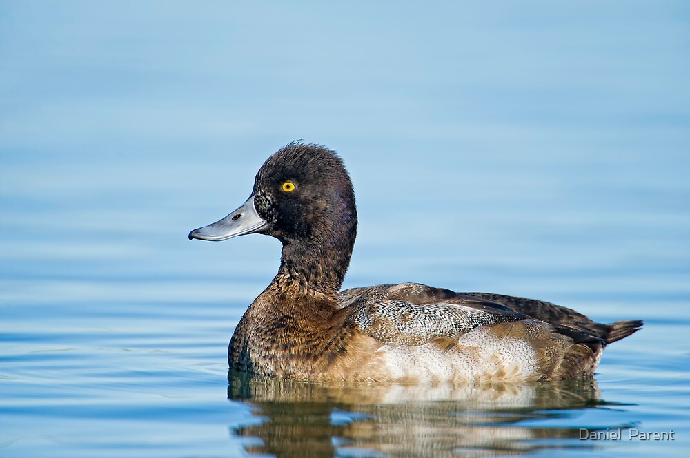 Approachable Scaup by Daniel  Parent