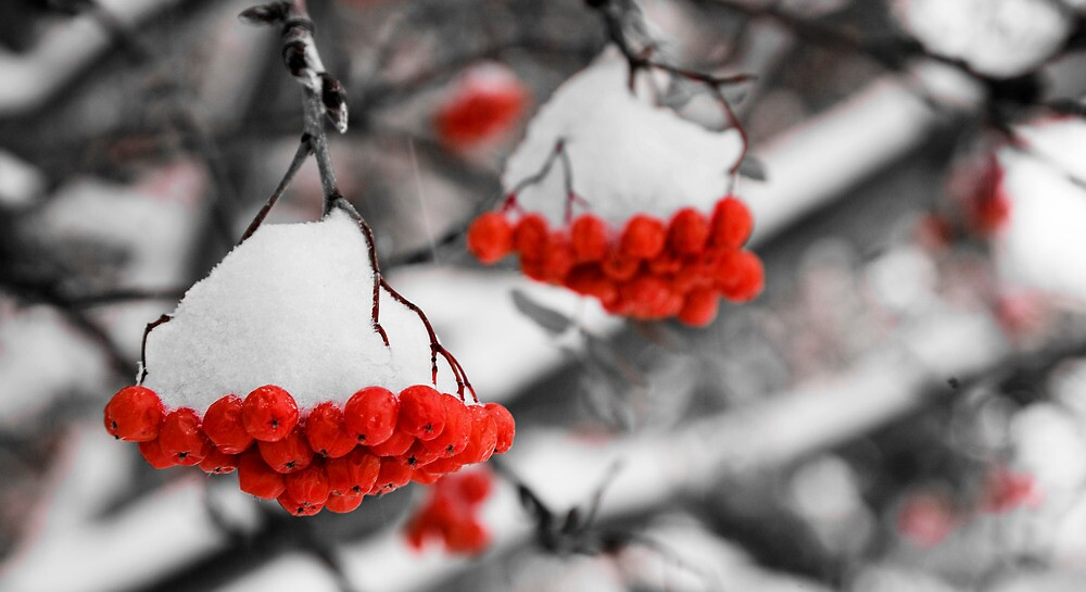 Mountain Ash Berries by Mike Moruzi