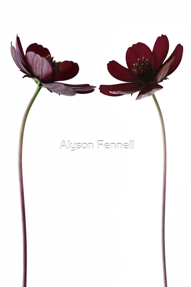 Chocolate Cosmos Duo by Alyson Fennell