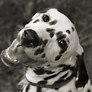Dotty the Dalmatian by Jay Reed