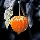 lantern by Sue Frank
