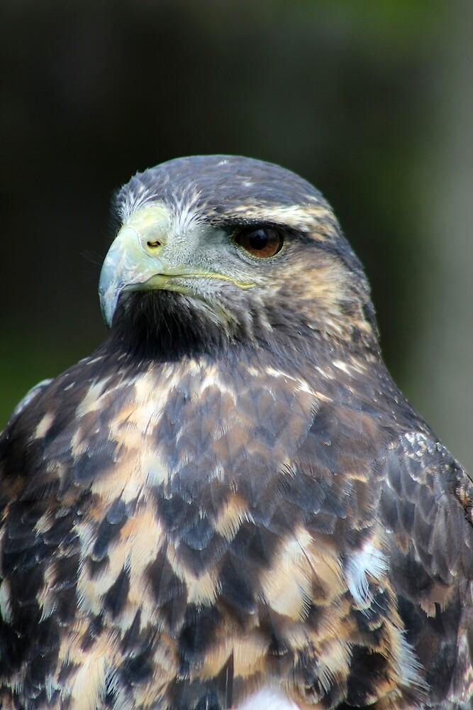 Juvenile Black Chested Buzzard Eagle by rhamm